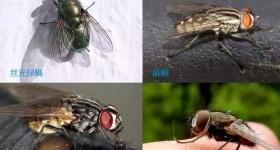 【识虫⑥】:苍蝇