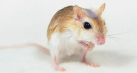 【识虫⑤】:老鼠