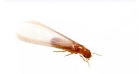 又到白蚁纷飞繁殖期,近期开窗要小心