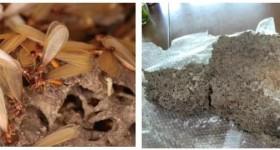 如何发现家中是否有白蚁危害呢?